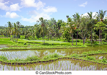 Landscape on Lombok Indonesia with rice fields in Asia