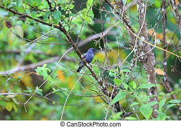Lesser Cuckoo-shrike (Lalage fimbriata compta) in Simeulue...
