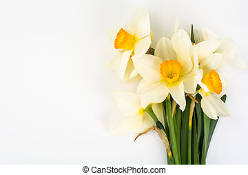 Spring flowers of daffodils on white background
