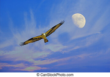 Osprey flying with moon - Osprey flying high in clouds with...