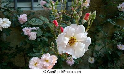 Penelope Rose - Penelope, an antique rose introduced to the...