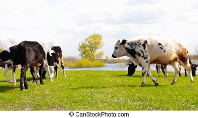 Cows grazing on a meadow 11