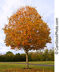 Fall Sugar Maple - Sugar Maple Tree (Acer saccharum) with...