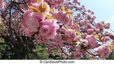 Sakura Cherry Blossom - Closeup of cherry blossom in...
