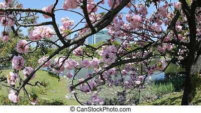 Pink Sakura Cherry Blossom - Closeup of cherry blossom in...