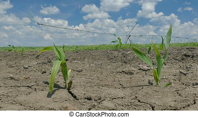 Corn plant in field - Agriculture, corn plant in field with...