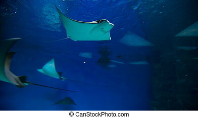 stingrays at oceanarium - A southern stingrays glides...