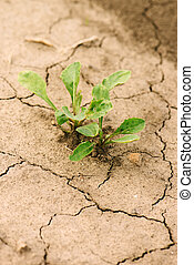 Young sugar beet plant in field