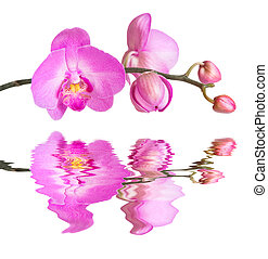Orchid isolated on white reflected in a water