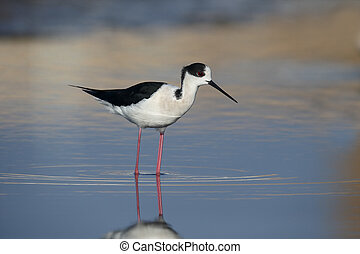 Black-winged stilt, Himantopus himantopus, Single bird in...