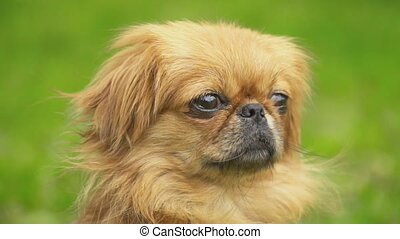 Portrait of a dog breed Pekingese - Portrait of a Pekingese...