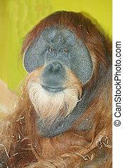 Orangutan (Pongo) - The orangutans (Pongo) are a primate...