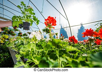 Greenhouse Flowers Cultivation. Taking Care of Greenhouse...