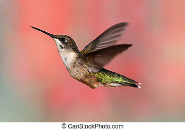 Ruby-throated Hummingbird In Flight - Juvenile Male...