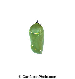 Opaque Monarch Butterfly Chrysalis - A bright green Monarch...