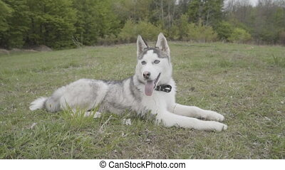 The dog of the Husky breed lies on the ground - A hussy...