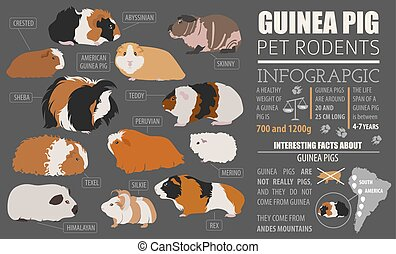 Guinea Pig breeds infographic template, icon set flat style...