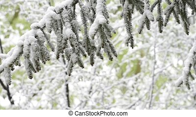 Green leaves of the trees and grass covered with snow after...