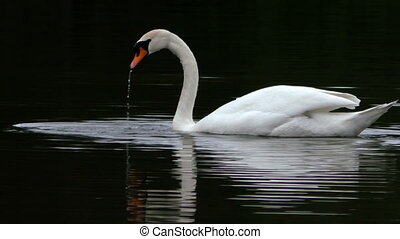 Mute swan swimming and fishing in dark water - Mute swan...