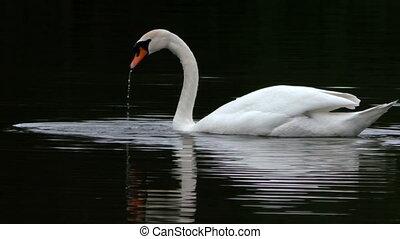 Mute swan swimming and fishing in dark water
