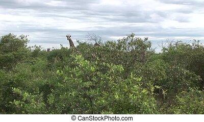 Wild Giraffe mammal africa savannah Kenya (Giraffa...