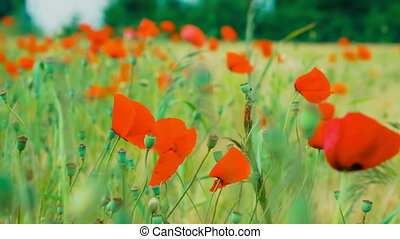 Wild Red Poppy Flowers in Wheat Field