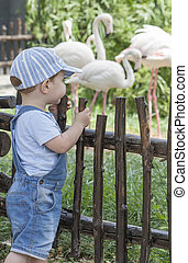 Baby boy looking Greater flamingoes in zoo. Phoenicopterus...