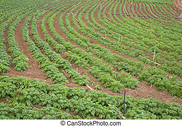 potato field on Gran Canaria,  red soil visible