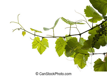 young grapevine isolated - young grapewine isolated on white...
