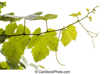 young grapevine isolated on white background