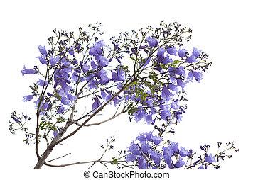 flowering blue jacaranda isolated on white bacground
