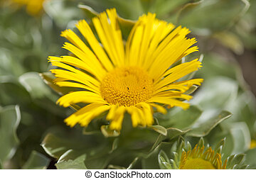 flowering Asteriscus plant natual floral background