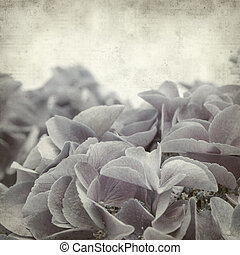 textured old paper background with mophead hydrangea