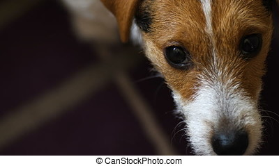 Jack Russell Terrier dog looking to camera Handheld shot.