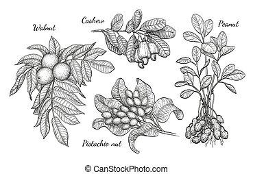 Walnut, cashew, pistachio and peanut - Nuts set. Ink sketch...