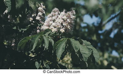 Chestnut tree. Blooming chestnut. Swaying Branches...