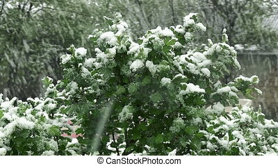 Snow is spring. Wet snow falls on the green leaves and trees