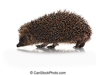 cute hodgehog on white - wild hodgehog on white background