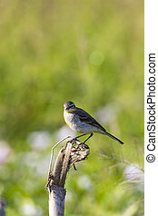Image of Bird Eastern Yellow Wagtail (Motacilla...