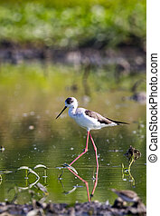 Image of bird black-winged stilt are looking for food...