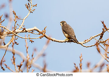 a Peregrine falcon - Peregrine falcon perched on tree,...