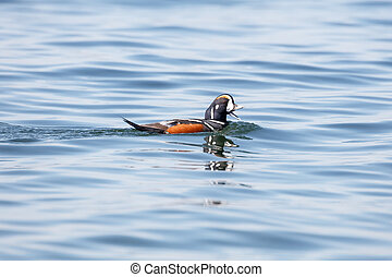 male Harlequin Duck - Harlequin Duck (Histrionicus...