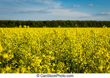 Rape meadow under blue sky,Golden rape field with cloudy...