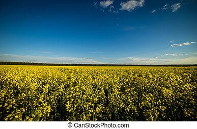 Rape meadow under blue sky,Golden rape field with cloudy...