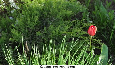 red Tulip among green grass