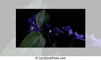 Time-lapse of opening dark blue flowers. - Time-lapse of...