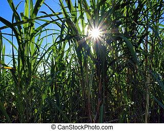 Sun breaking through - Sun breaks through the tall sugar...