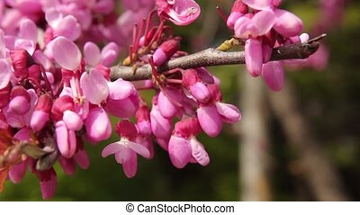 blooming Judas Tree closeup video