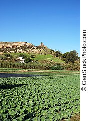 Cabbages and other vegetables growing in a field, Torre del Mar.