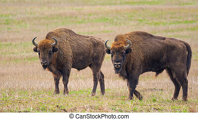 Two of European Bison bulls resting in springtime,...